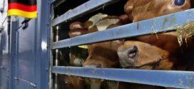ألمانيا ترد على المغرب و تمنع تصدير 270 رأسا من البقر خوفا من انتهاك حقوقها